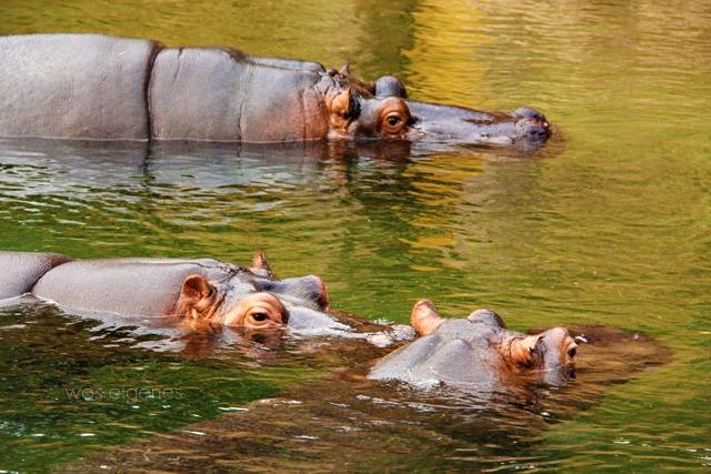 Kölner Zoo | Nilpferde | waseigenes.com