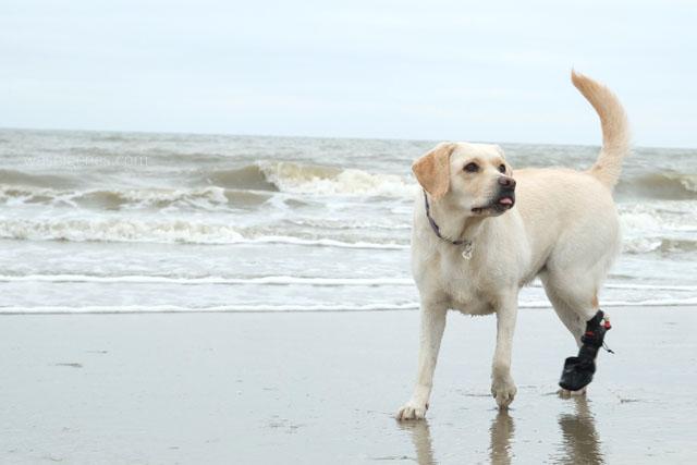 Noordwijk | Branding Beach Club | Mollie Labrador | waseigenes