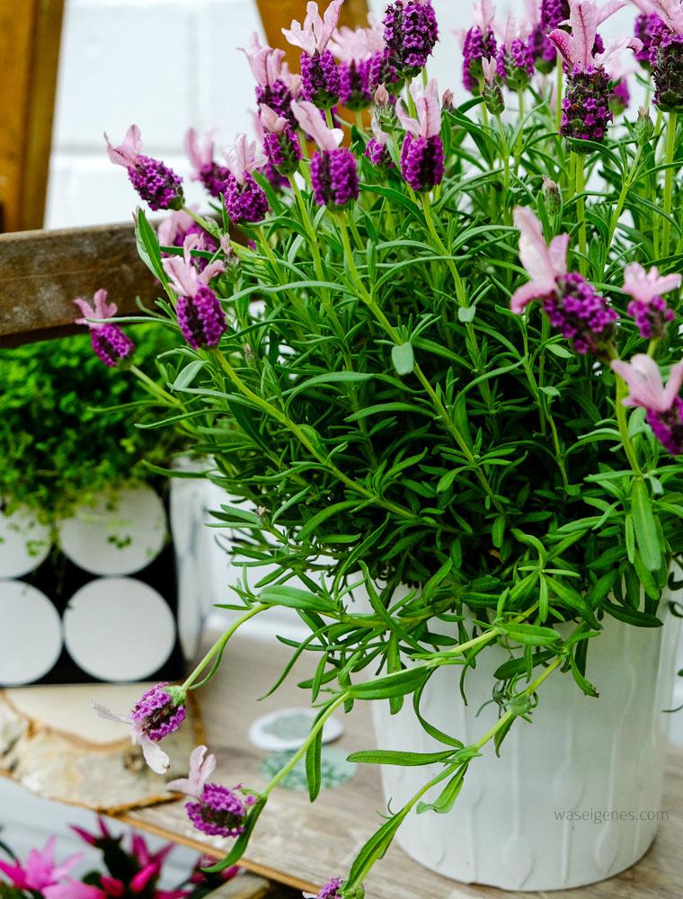 urban jungle | Grünpflanzen & Pflanzendeko | Lavendel | waseigenes.com