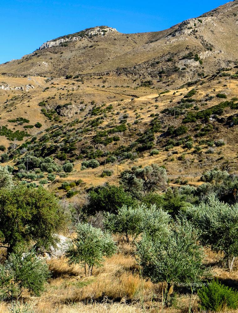 Kreta: Olivenbäume | waseigenes.com