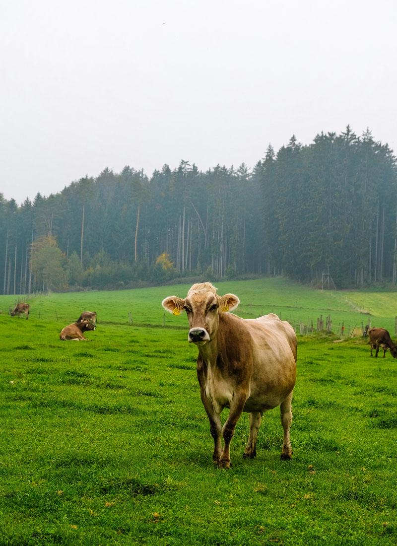 Moni die Milchkuh auf dem Bio-Bauernhof Jackelhof in Bayern | weil Bio nicht gleich Bio ist | waseigenes.com