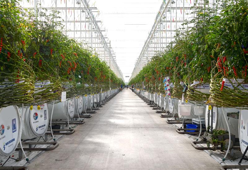 Tomaten Gewächshaus (Honigtomaten) | Looye Kwekers, Naaldwijk NL, waseigenes.com