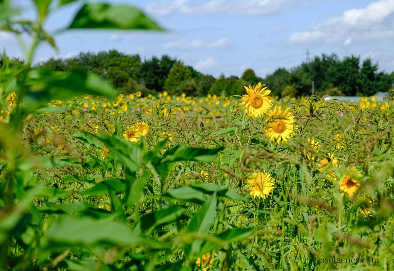 12 von 12 - Mein Tag in Bildern, waseigenes.com | Sonnenblumen