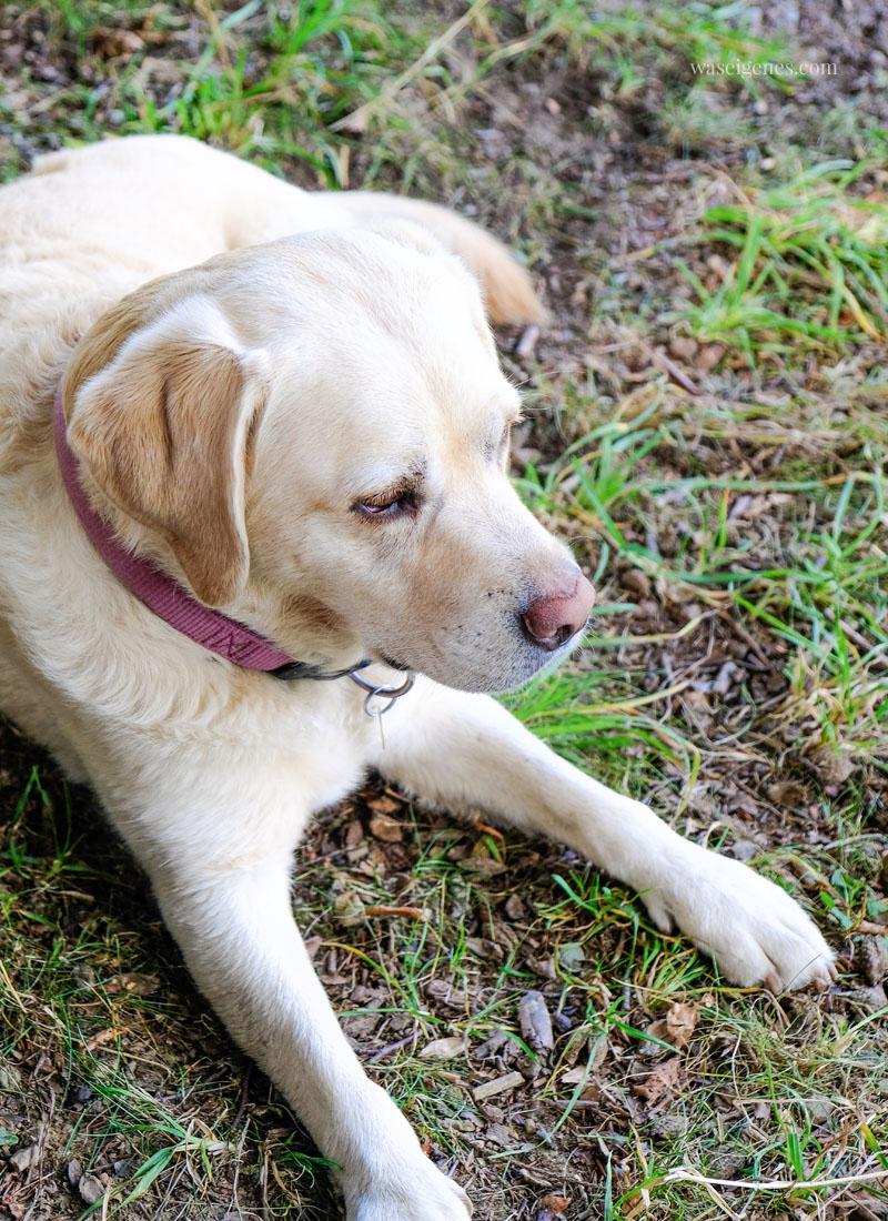 Mollie - Labrador Hündin, waseigenes.com