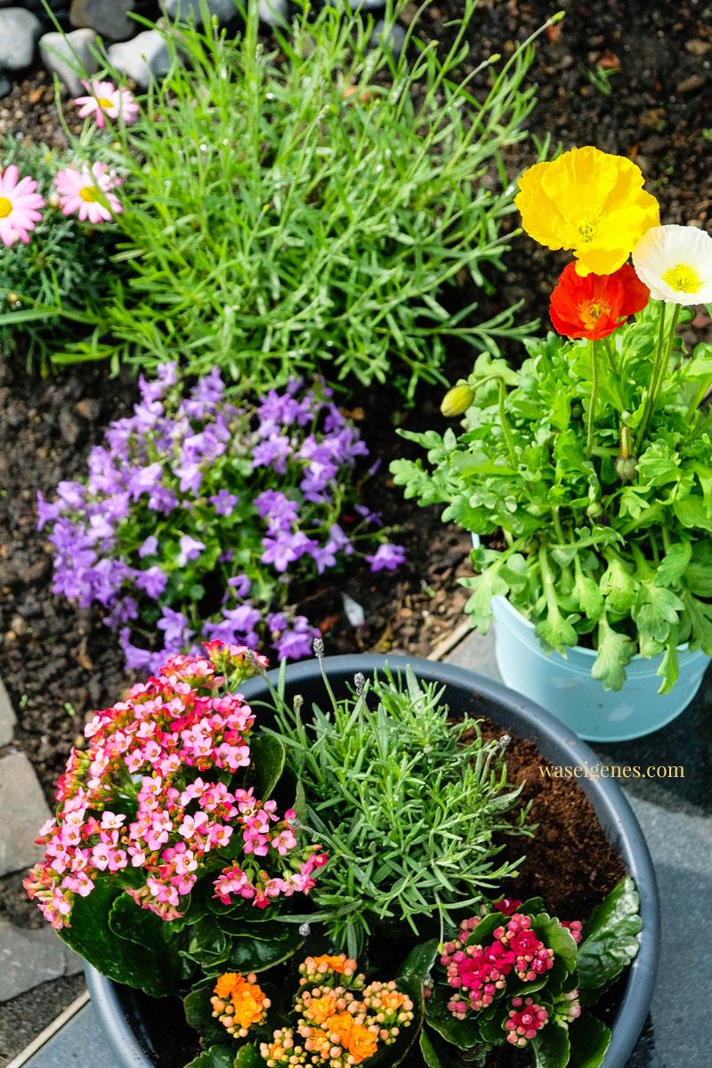 Unser Garten: Lavendel, Mohn, Kräuter und Kalanchoe | waseigenes.com #waseigenes #garten #kalanchoe