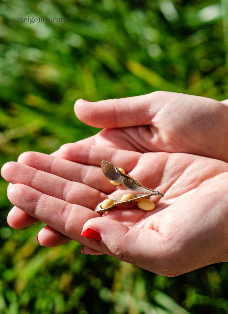 So sieht eine Soja Bohne aus | Soja Anbau in Deutschland {Bayern} - Naturland zertifizierter Bio Bauernhof, Herstellung von Tofu für REWE Bio | waseigenes.com